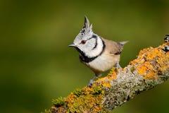 Crested синица сидя на красивой ветви лишайника с ясной желтой предпосылкой птица в среду обитания природы Портрет детали Songbi стоковые изображения rf