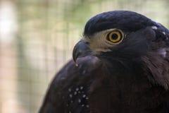 crested смей орла стоковое фото