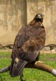crested смей орла стоковое фото rf