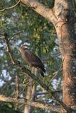 crested смей орла стоковая фотография