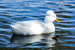 crested утка Стоковое фото RF