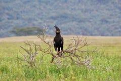 crested хоук орла длиной Стоковая Фотография