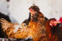Crested цыпленок с красным и черным оперением Стоковое Фото