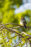 Crested Barbet Stock Image