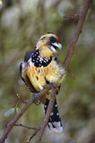 Crested Barbet. The Crested Barbet (Trachyphonus vaillantii) is a species of bird in the Lybiidae family. The bird is perched on a branch with beak open. The Royalty Free Stock Images