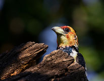 Crested Barbet Royalty Free Stock Images
