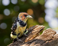 Crested barbet Royalty Free Stock Image