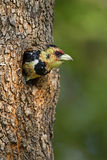 Crested Barbet. Coming out of nest; Trachyphonus vaiiantii stock images