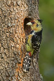 Crested Barbet. Perched in front of nest; Trachyphonus vaiiantii stock image