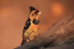 crested barbet Стоковые Изображения
