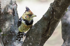 Crested Barbet bird Stock Photography