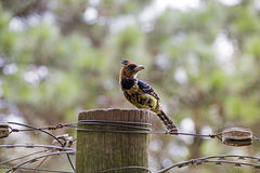 Crested barbet bird perched on wooden pole. And barbed wire with blurred background Royalty Free Stock Photography