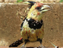 Crested Barbet. Stock Images