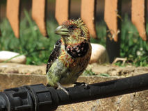 Crested Barbet. Royalty Free Stock Photography