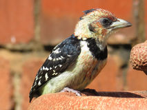 Crested Barbet. Stock Photos