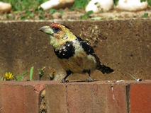 Crested Barbet. Stock Image