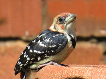 Crested Barbet. Stock Photography