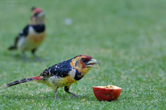 Crested barbet feeding on apple in garden Royalty Free Stock Photography