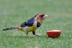 Crested barbet feeding on apple in garden Stock Images