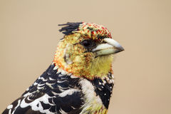 Crested Barbet in Kruger National park Royalty Free Stock Photo
