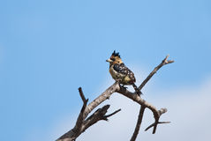 Crested Barbet royalty free stock photos