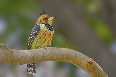 Crested Barbet Stock Photography