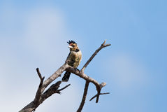 Crested Barbet posing Royalty Free Stock Photo