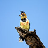 Crested Barbet sitting on a stump Stock Image