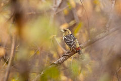 Crested Barbet and spring haze Stock Images