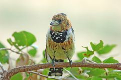 Crested Barbet (Trachyphonus vaillantii). A Crested Batbet in the Kruger National Park, South Africa Stock Image