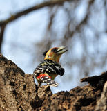Crested Barbet (Trachyphonus vaillantii) Royalty Free Stock Photo