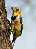 Crested Barbet (Trachyphonus vaillantii) Royalty Free Stock Images