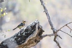 Crested Barbet & x28; Vaillantii Trachyphonus & x29; Садиться на насест на дереве Стоковое Изображение RF