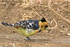 crested barbet vaillantii trachyphonus Стоковое фото RF