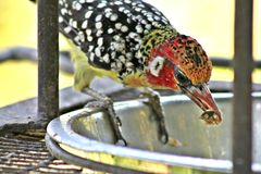 Crested Barbet Woodpecker Stock Photography