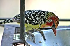 Crested Barbet Woodpecker Stock Image
