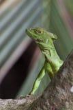 Crested basilisk. Green basilisk, double crested basilisk, or Jesus Christ lizard Stock Photography