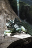 Crested Basilisk Royalty Free Stock Photography