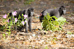 Crested black macacue, Macaca nigra, on the river bank,  Tan Royalty Free Stock Photo