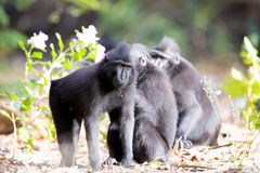 Crested black macacue, Macaca nigra, on the river bank,  Tangkoko National Park, Sulawesi, Indonesia Stock Images