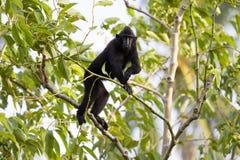 Crested black macacue, Macaca nigra, on the tree, Tangkoko National Park, Sulawesi, Indonesia Stock Photos