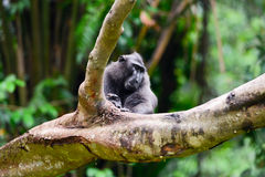 Crested Black Macaque Royalty Free Stock Images