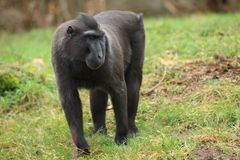 Crested black macaque. In the grass royalty free stock images