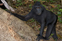 Crested black macaque while looking at you in the forest Stock Image