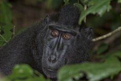 Crested black macaque while looking at you in the forest Royalty Free Stock Image