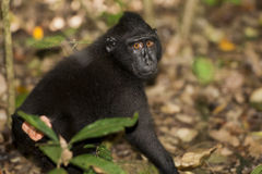 Crested black macaque while looking at you in the forest Stock Photo
