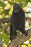 Crested black macaque while looking at you in the forest Stock Images