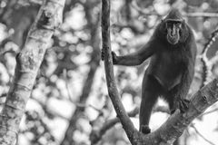 Crested black macaque while looking at you in the forest Royalty Free Stock Photos