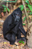 Crested black macaque monkey in the forest Royalty Free Stock Image