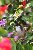 Crested Bulbul tasting the flowers. A Crested Bulbul tasting the flowers Royalty Free Stock Image